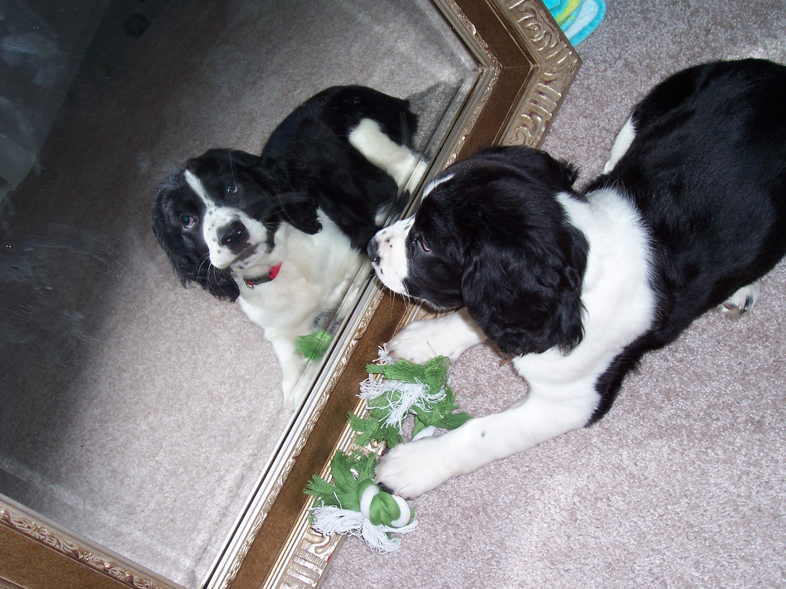 puppy looking in the mirror
