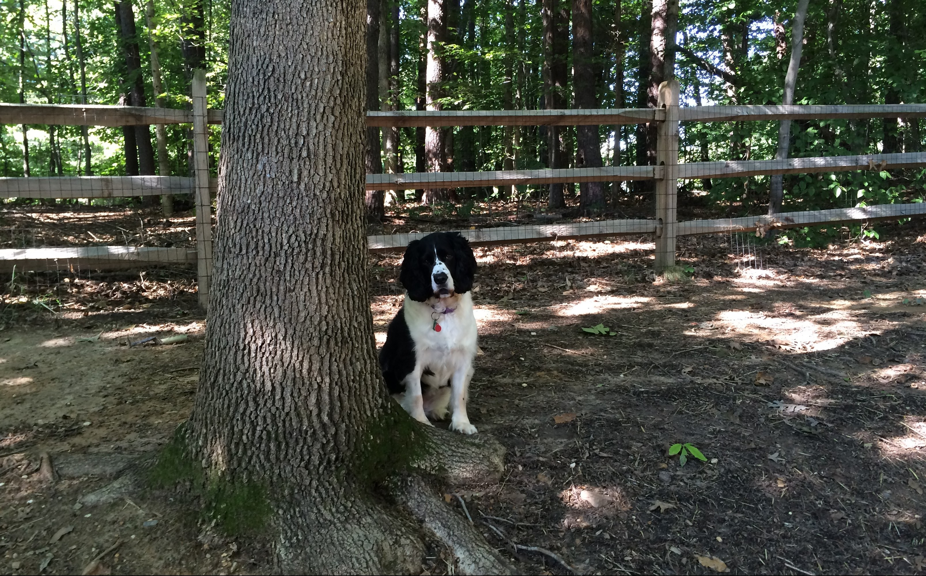 English springer spaniel beside tree