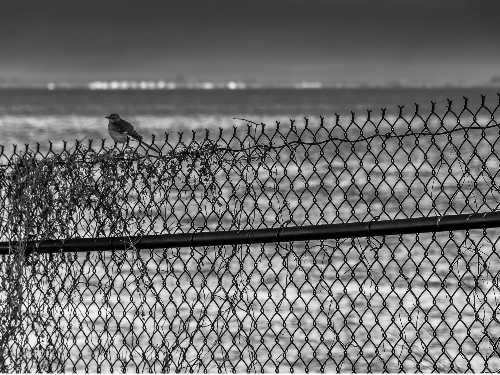 """Photo: Spencer Harris. """"Bird on a Fence."""" Licensed under CC BY 2.0"""