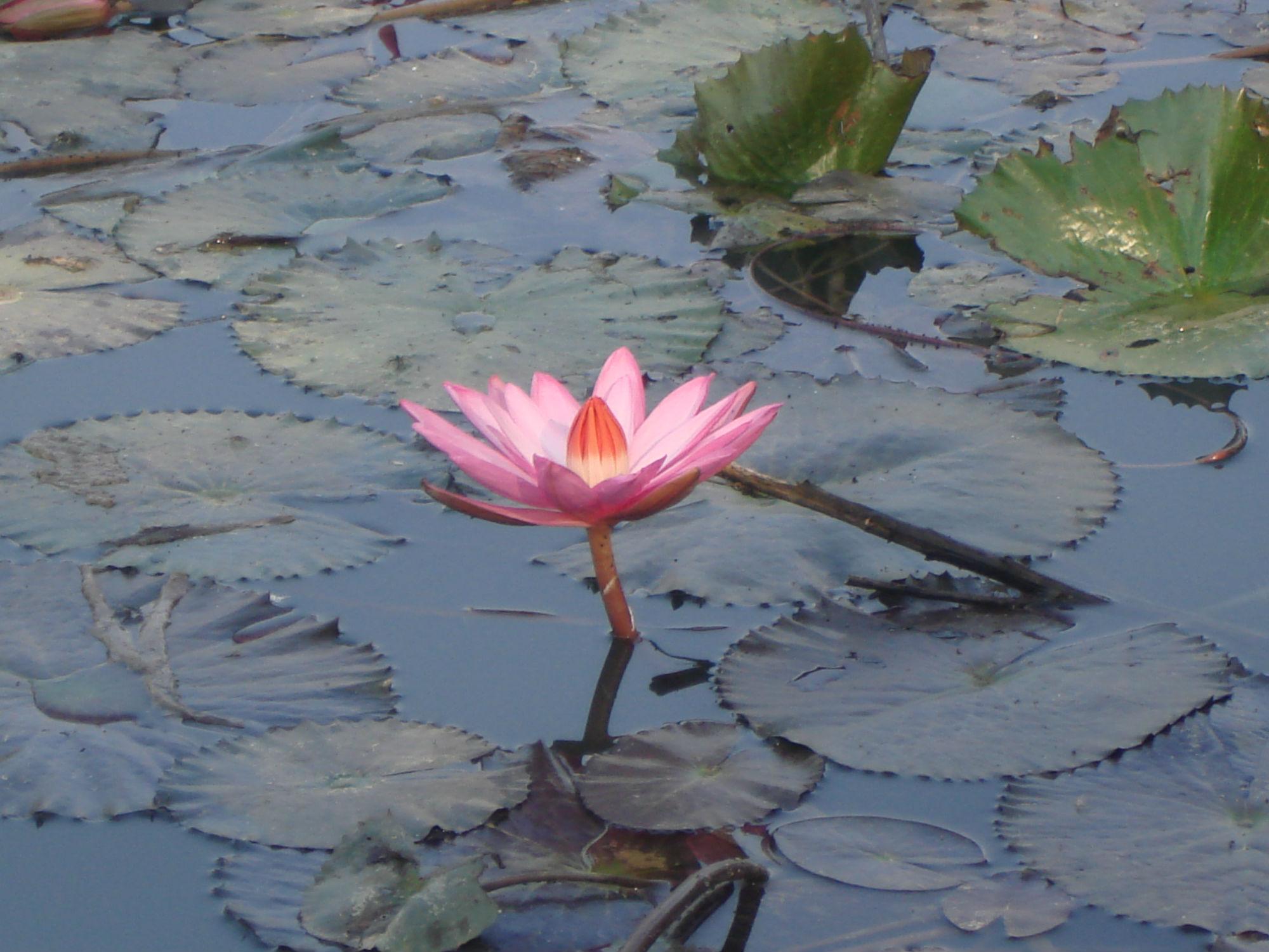 photo-deepak-adhikari-lotus-flower-cc-by-sa