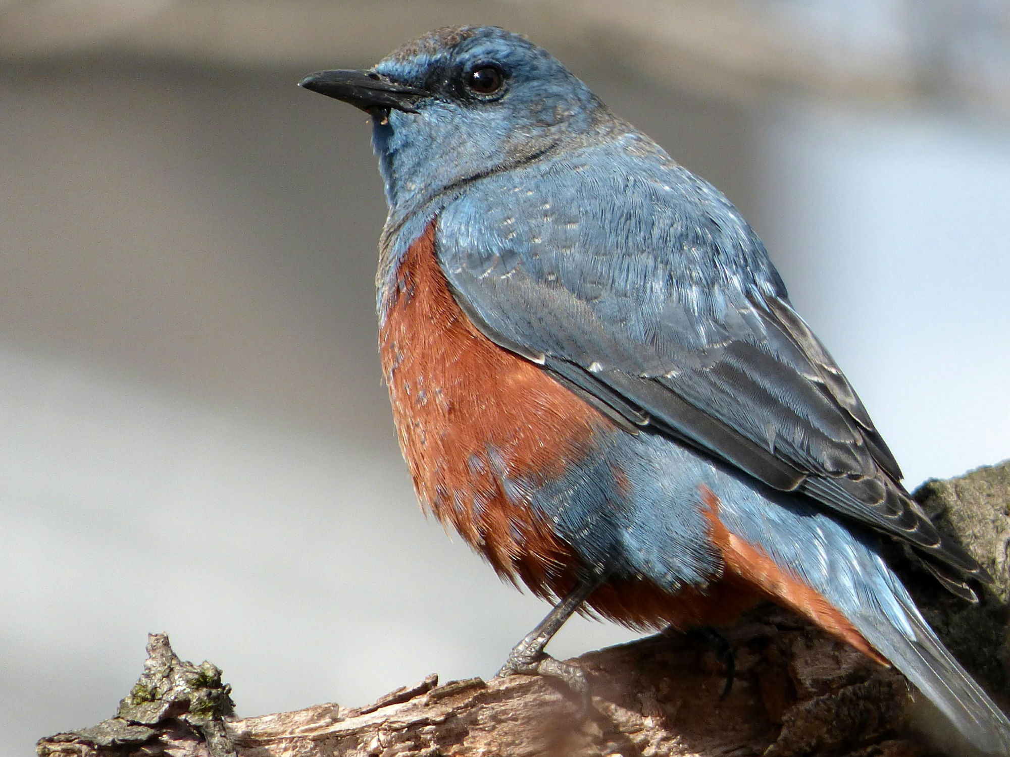 photo bluerock thrush bird