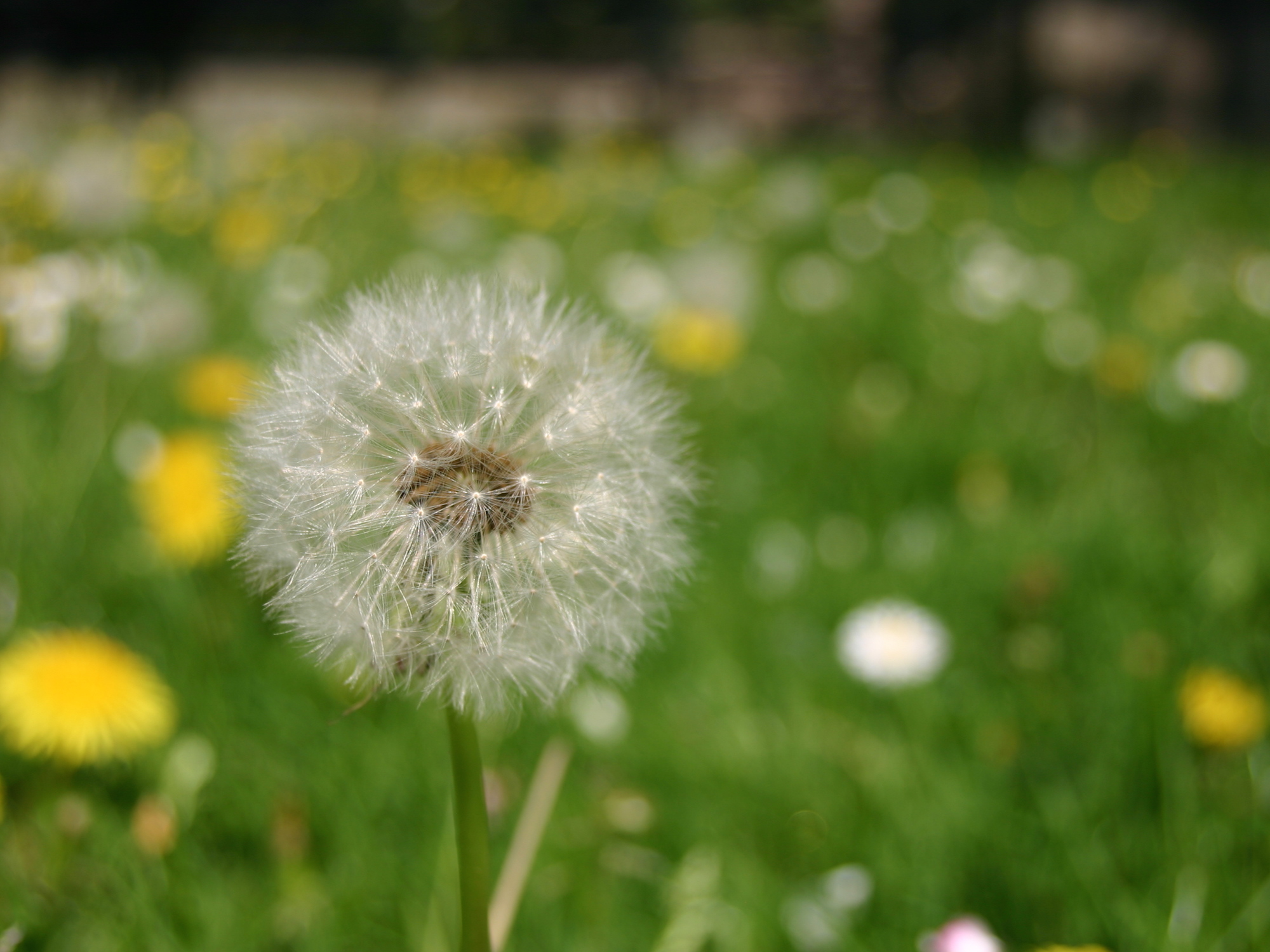 happiness is seeing a dandelion as a flower, not a weed