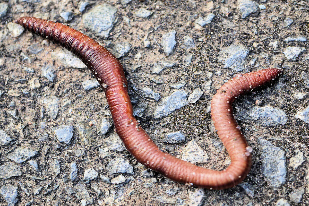 earthworm on the sidewalk