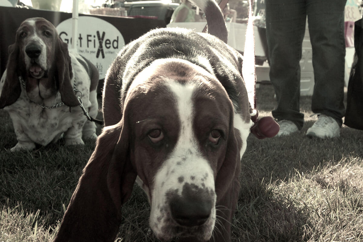 fat basset hound looking at camera