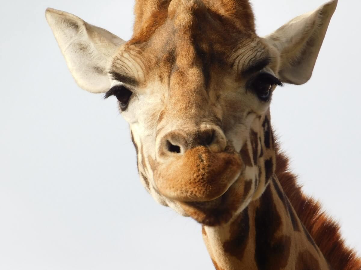 giraffe looking at camera