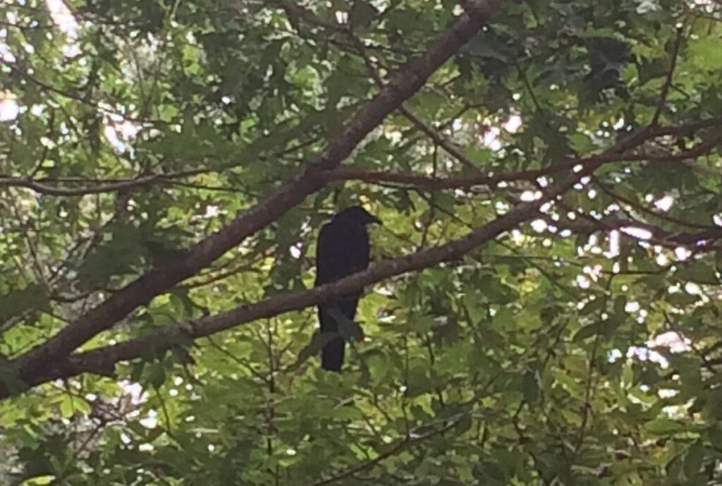 stowaway crow in a tree