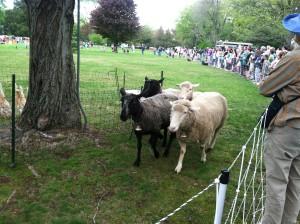 Sheep at the North Andover Sheep Shearing Festival