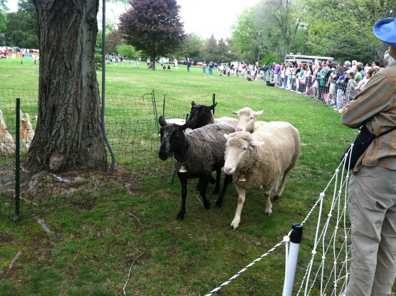 Sheep at the North Andover Sheep Shearing Festival