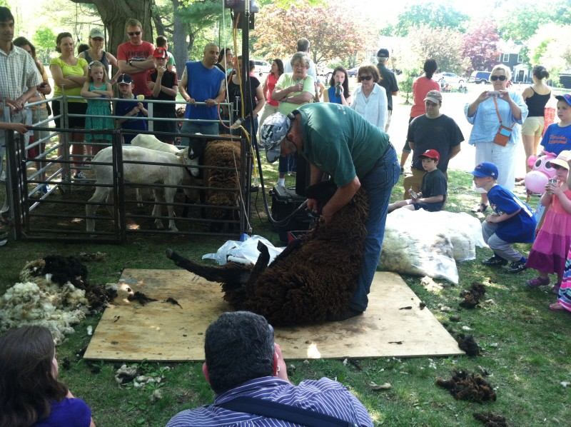 Sheep Shearing North Andover MA