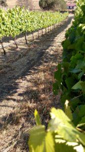 Treading the vines 2016
