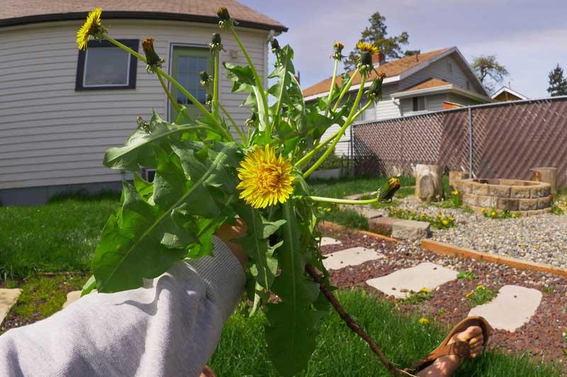 Backyard Foraging For Wild Edibles