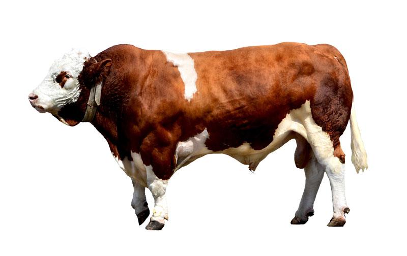 Friesen Nutrition bull