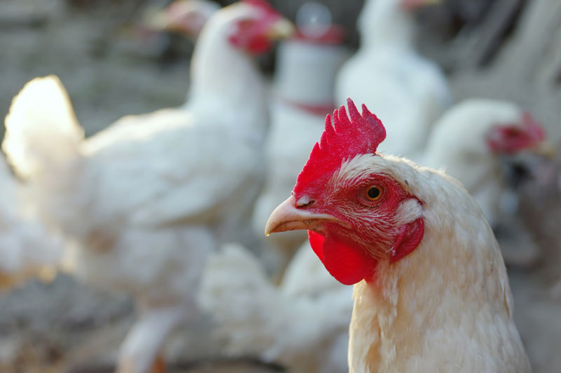 poultry cleaners organic