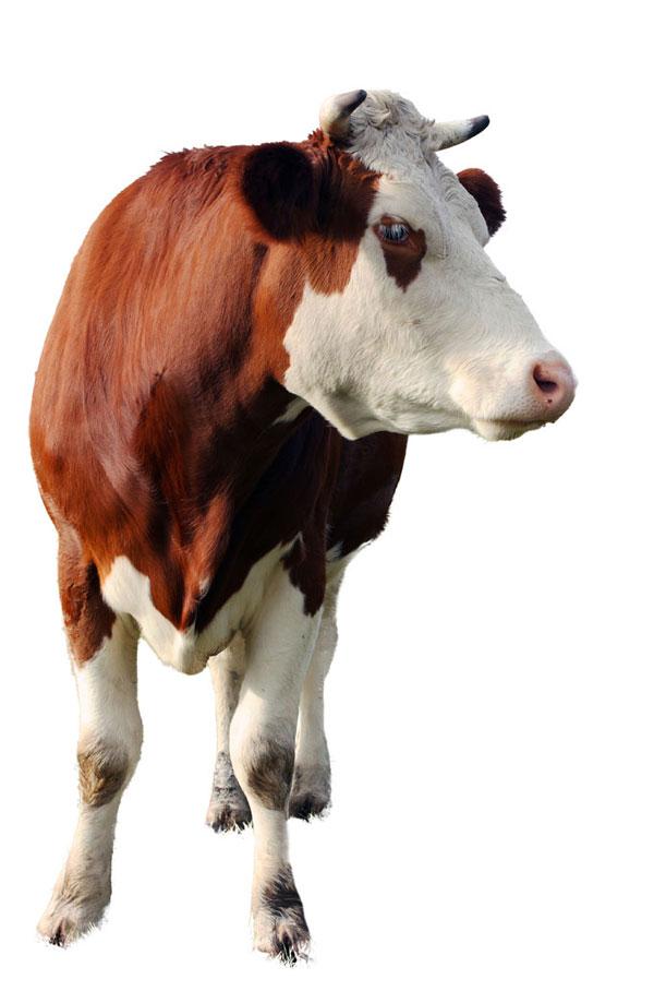 Friesen Nutrition cattle