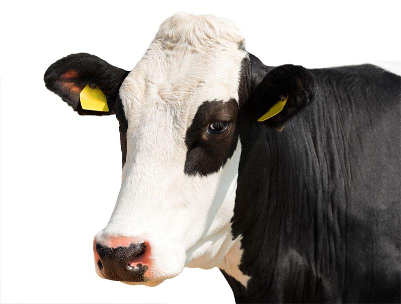 Friesen Nutrition Dairy Cow