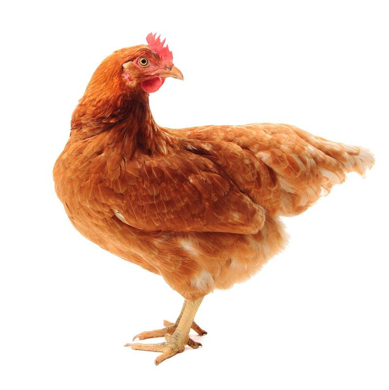 Friesen Nutrition Avi Active Chicken
