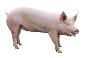 friesen big pig