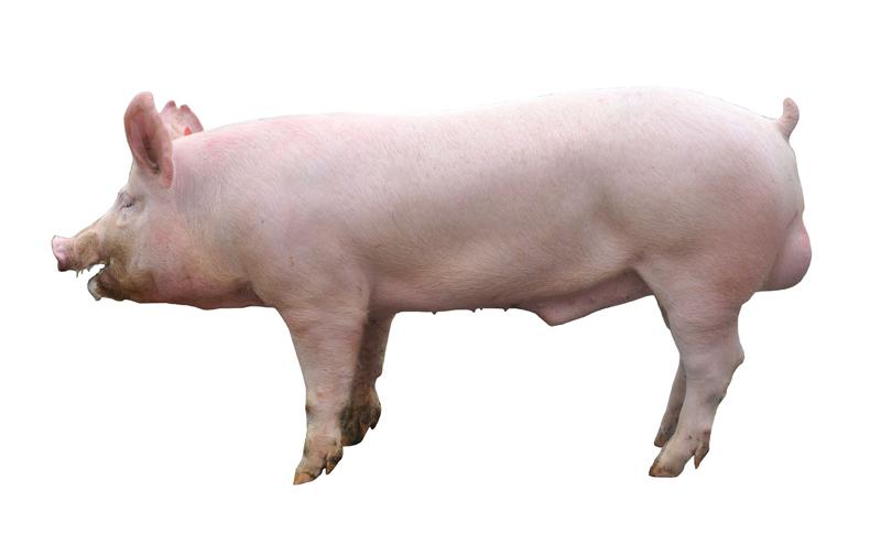 Firesen Nutrtion Boar pig