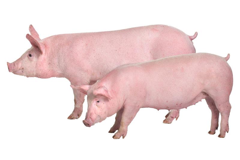 friesen pair of pigs