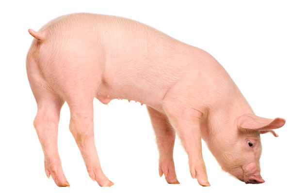Friesen Nutrition pig