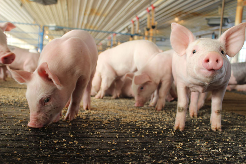 friesen nutrition pigs feeding