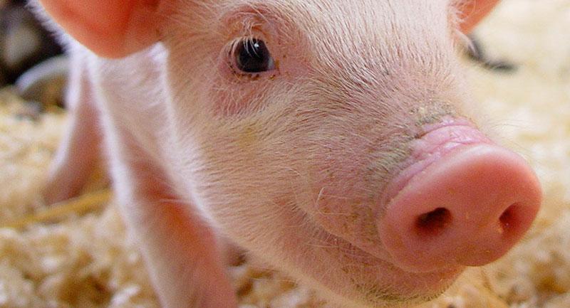 friesen pigs macro