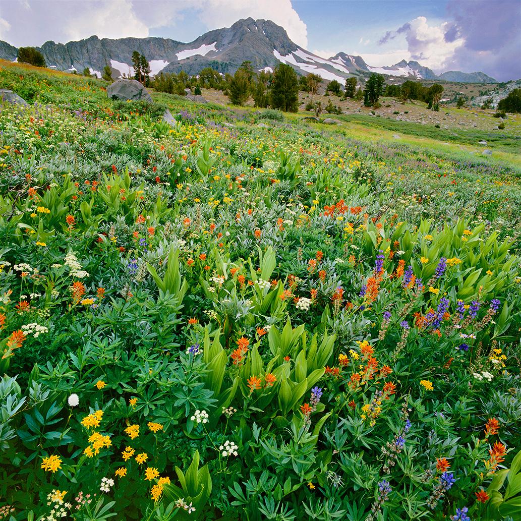 Meadow of Wildflowers and Roundtop Mountain, Carson Pass,  Eldorado National Forest, Sierra Nevada Mountains, California  Lupine, paintbrush,
