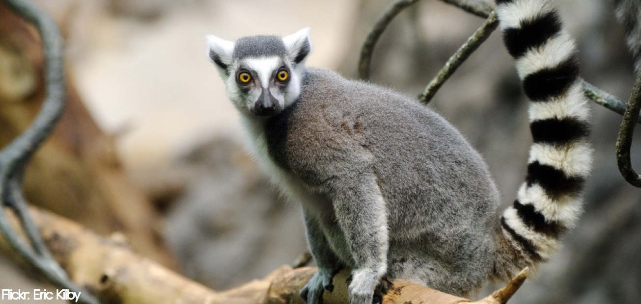 A lemur with a long tail