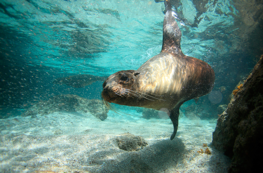 Sea lion swimming underwater in San Cristobal Island, Galapagos Islands
