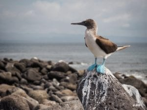 Blue footed booby on top of the rock at the beach in North Seymour Island