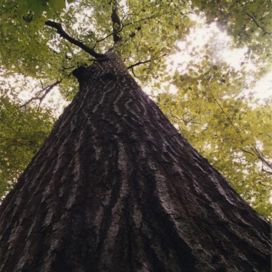 272-P-Tree_Vertical