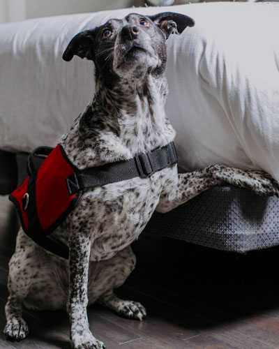 One of our dogs indicating at the presence of bed bug pheremones