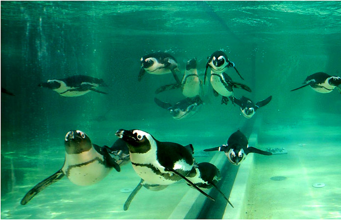 African Cape penguin colony arrived at the biopark in Rome. / AP Photo / Alessandra Tarantino.