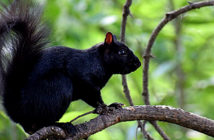 Interspecies Breeding Is Responsible for Some Squirrels' Black Coloring. Image Credit: Smithsonian, 2019.