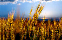 climate change may dramatically reduce wheat production.. in the coming decades, wheat yields are projected to decrease by 6 percent for each degree Celsius the temperature rises. Image Credit: Archive, Kansas State University, 2019.