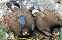 Messages Sent by Roaming Eagles. A steppe eagle with an SMS tracker attached. Image Credit: I. Karyakin / Russian Raptor Research and Conservation Network, 2019.