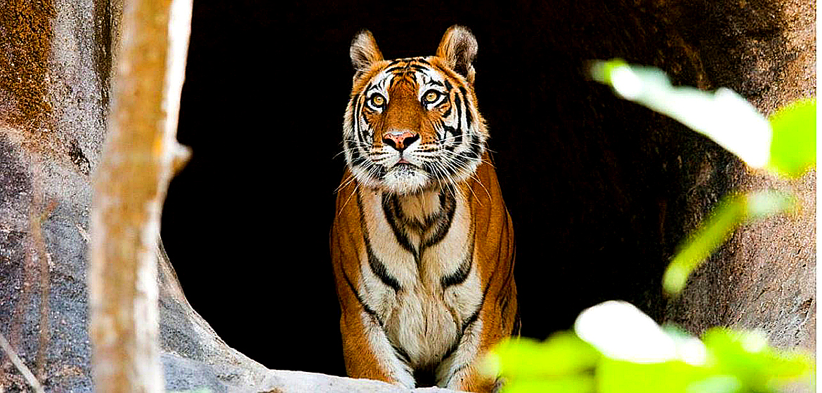 Spotting wild tigers in India's reserves.