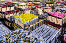 The global flower market is crushing. Flowers in Aalsmeer, the Netherlands, on March 16—the day that floral prices plummeted. Image Credit: Lex Van Lieshout / Getty Images, 2020.