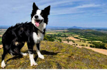 How a dog's life affects its personality. Border collies were less interested in new surroundings from the age of two.Iamge Credit: Alamy, 2020.
