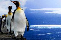 Giant iceberg, still a threat to South Georgia wildlife, despite break-up. King penguins on South Georgia Imege Credit: EPA, 2020.