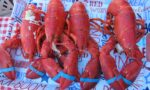 Beautiful Maine lobster