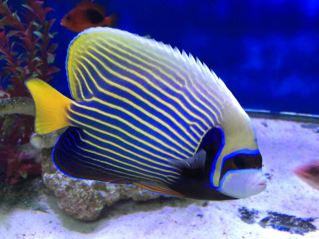 Saltwater Fish Blue, Yellow, Black and White Emperor Angelfish
