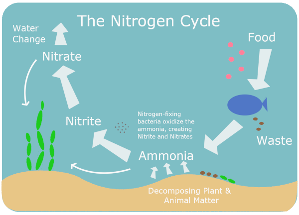 Nitrogen Cycle Graphic Showing Fish Waste and Plant Decay Being Converted into Nitrate and Nitrite