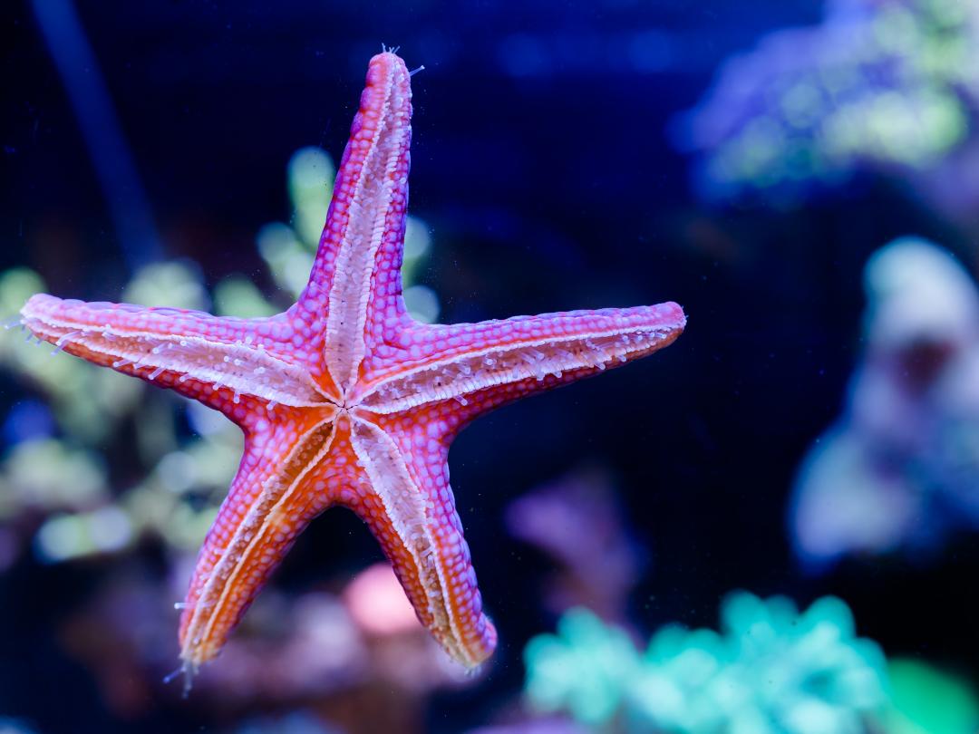 Saltwater Invertebrates Fromia Elegans Starfish