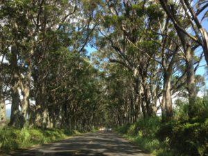 Tree Tunnel on Kauai