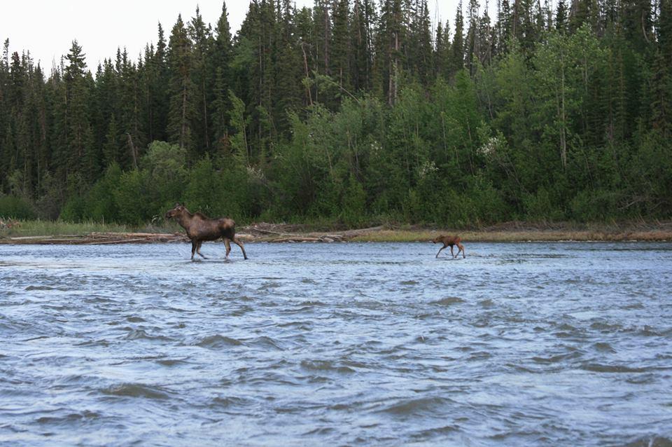 Gulkana River, moose, Alaska, Copper Valley