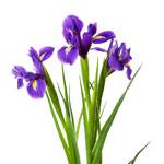 iris-meaning-the-gift-guru