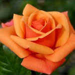 orange-rose-the-gift-guru