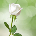 white-rose-meaning-the-gift-guru