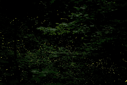Secret Lives of Synchronous Fireflies (Insects Too Aren't Dumb)